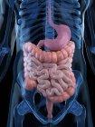 Sistema digestivo saludable - foto de stock