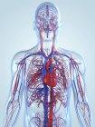 Sistema cardiovascular de un adulto - foto de stock