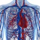 Sistema cardiovascular del adulto sano - foto de stock