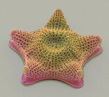 Triceratium sp. algas diatomeas - foto de stock