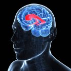 Brain showing lateral ventricle — Stock Photo