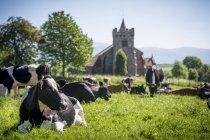 Молочних корів лежачи і випасу в полі з стародавні кам'яні будівлі — стокове фото