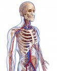 Скелет и сердечно-сосудистой системы — стоковое фото