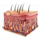 Anatomía de la piel que muestra estratificación tisular - foto de stock