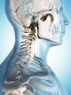 Cuello y estructura del cráneo - foto de stock