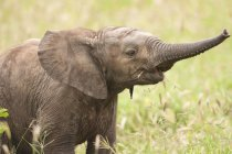 Young african elephant in Tanzania. — Stock Photo