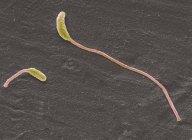 Clostridium Phytofermentans Bakterien — Stockfoto