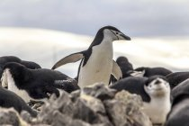 Group of chinstrap penguins on rocks. — Stock Photo
