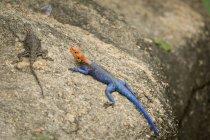 Lizards basking in sunlight in Tanzania — Stock Photo