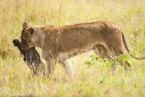 Leoa carregando presas na pastagem de Tanzânia. — Fotografia de Stock