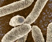 Bacterias escherichia coli - foto de stock