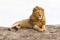 Лев отдыхает на рок валун в Танзании. — стоковое фото