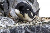 Adelie penguin with egg on Adelaide Island — Stock Photo