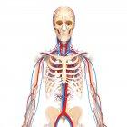 Système cardiovasculaire sain — Photo de stock