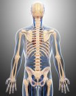 Skeletal and cardiovascular systems of adult — Stock Photo