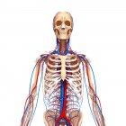 Sistemas esqueléticos y cardiovasculares - foto de stock