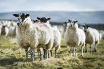 Овець стоячи на сільських поля. — стокове фото
