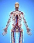 Sistema cardiovascular humano - foto de stock