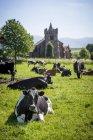 Kuhherde auf Feld liegend — Stockfoto