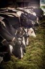Milchkühe fressen Heu aus Trog. — Stockfoto