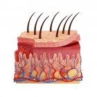Anatomy of human skin — Stock Photo