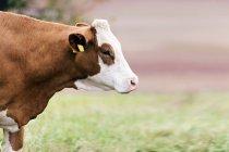 Vache dans le champ, vue latérale . — Photo de stock