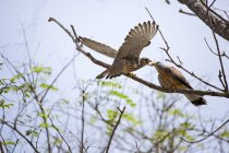 Lesser kestrel birds feeding on tree branches. — Stock Photo