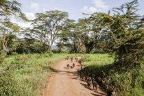 Manada de babuíno caminhe no caminho — Fotografia de Stock
