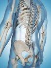 Espina dorsal y caja torácica de un adulto sano - foto de stock