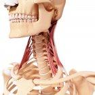 Muscolatura del collo umano — Foto stock