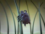 Взрослый лобковой вшей на волос — стоковое фото