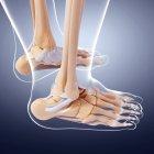 Huesos del pie humano anatomía estructural - foto de stock