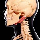 Human neck musculature — Stock Photo