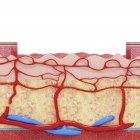 Anatomía de la piel humana - foto de stock