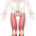 Human legs musculature — Stock Photo