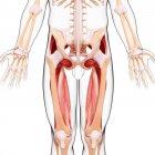 Musculatura de las piernas humanas - foto de stock