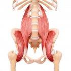 Musculatura de cadera humana - foto de stock