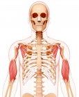 Human arms musculature — Stock Photo