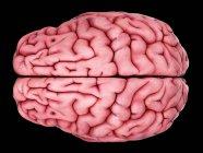 Anatomía cerebral humana que muestra la corteza - foto de stock