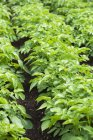 Potato plants in vegetable patch. — Stock Photo