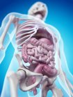 Skeletal system and internal organs — Stock Photo