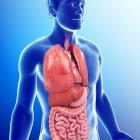 Anatomía interna masculina - foto de stock