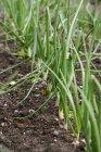 Plantes de l'ail au potager. — Photo de stock