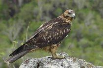 Falco di Galapagos appollaiati sulla roccia sulle isole di Galapagos, Ecuador. — Foto stock