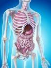Sistema esquelético y órganos internos - foto de stock