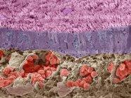 Micrografía electrónica de barrido de color (SEM) de una sección a través de una vena en el hígado, que está llena de glóbulos rojos (eritrocitos, rojos) ). - foto de stock