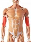 Male muscular system — Stock Photo