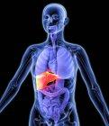 Hígado sano y órganos internos - foto de stock