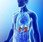 Ilustración conceptual por ordenador que muestra la anatomía humana y los riñones - foto de stock