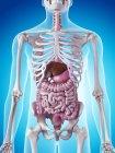 Órganos internos y sistema esquelético - foto de stock